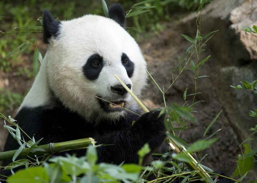 At+the+National+Zoological+Park%2C+pandas+greet+visitors+with+a+warm+smile.+