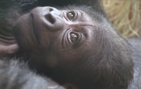 Philadelphia Zoo gorilla, Kira, finally gives birth to her baby after a long pregnancy process.