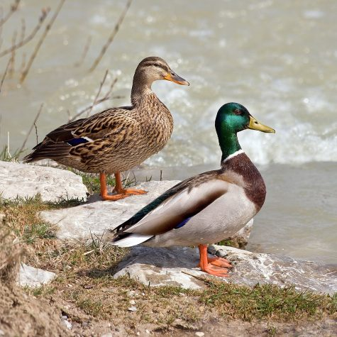 Ducks: A Metaphor for Coexisting